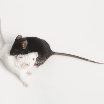 Press: Researchers want to identify all mouse genes. They help in the treatment of humans